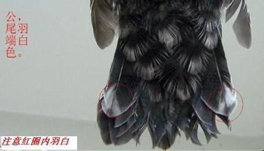 八哥公母区分方法 宠物花草 东台123 东台123图片
